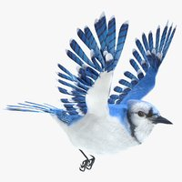 blue jay animations 3D model