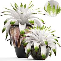 tropical plant shrubs bromelia model