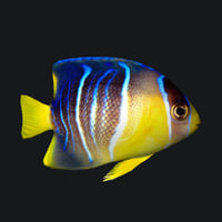 1_blue_angelfish