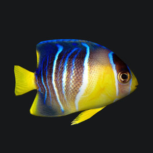 blue angel fish 3D model