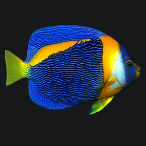 angel fish queen 3D model