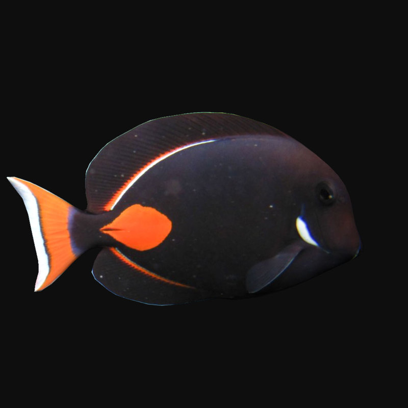 achilles tang red 3D model