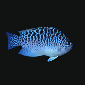 ocean fish model