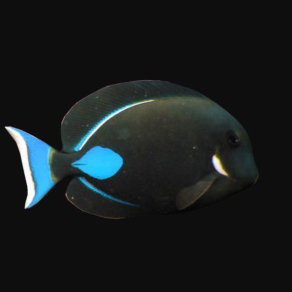 achilles tang blue 3D