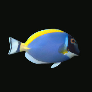 3D powder red tang