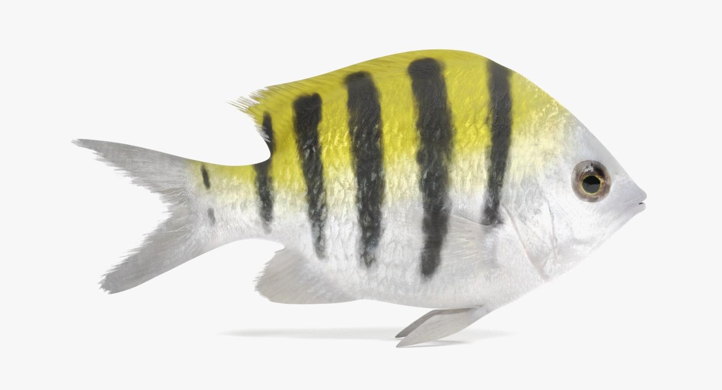 3D sergeant major fish model