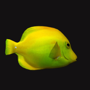 cheek butterfly fish yellow model