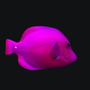 pink cheek butterfly fish 3D model