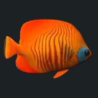 gold cheek butterfly fish model