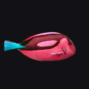 paracanthurus epatus red 3D model
