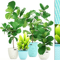 Ficus plant collection