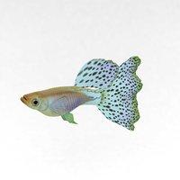 3D fish swimming guppy
