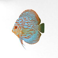 3D fish symphysodon animal nature