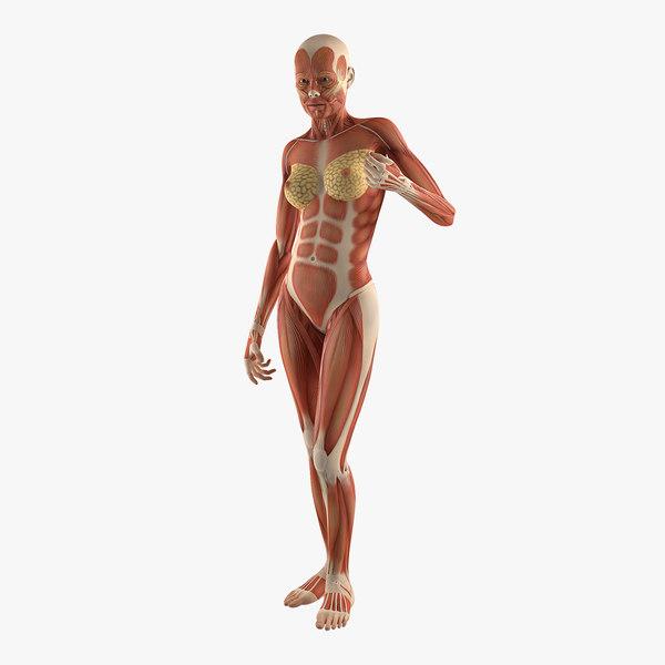 female human muscles anatomy 3D