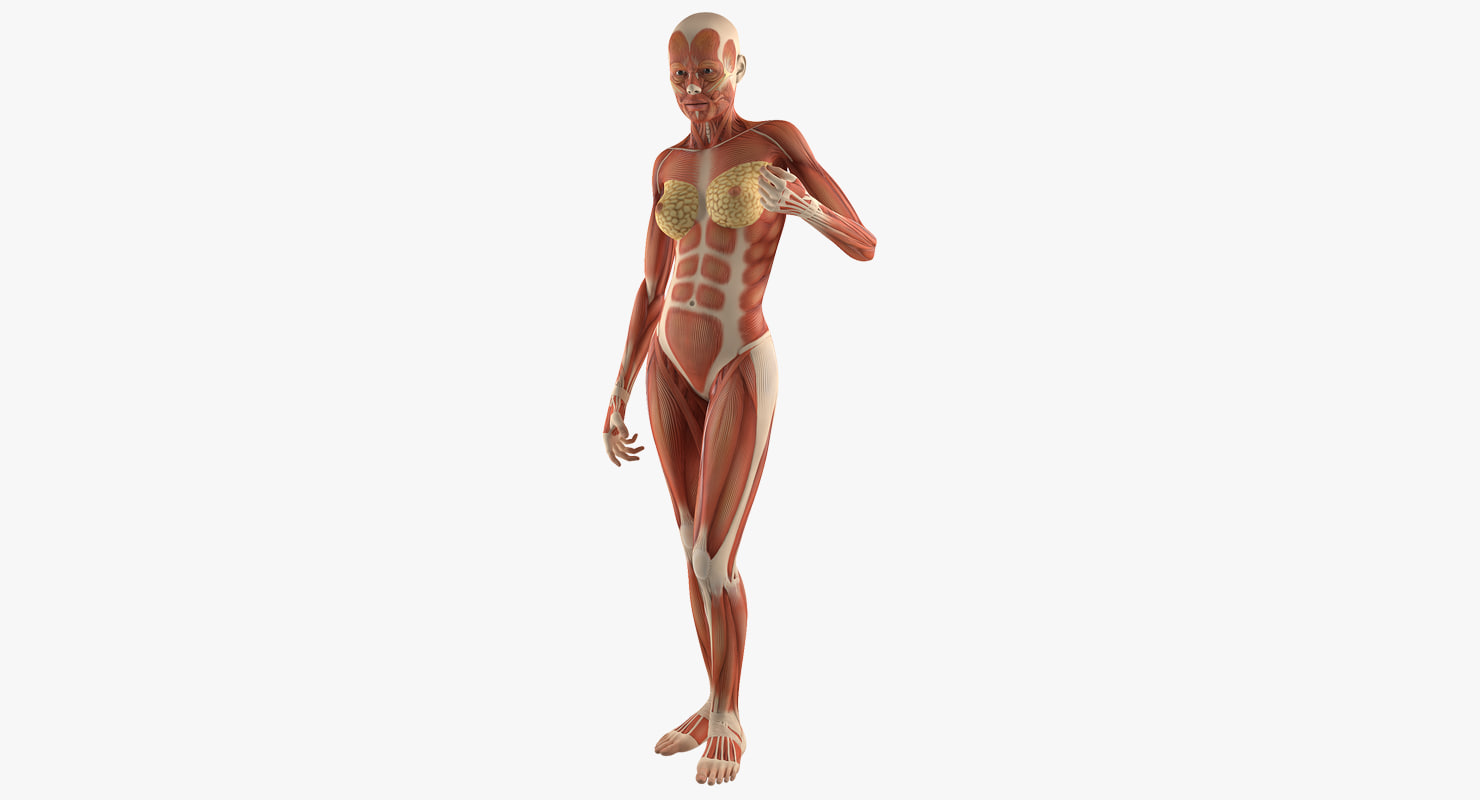 Female Human Muscles Anatomy 3d Turbosquid 1246349