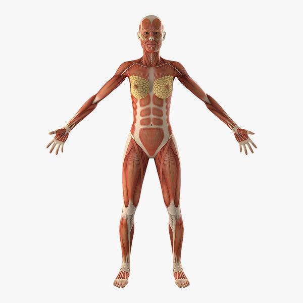 female muscular anatomy 3D model