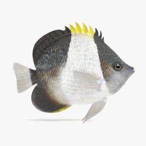 black pyramid butterflyfish 3D model
