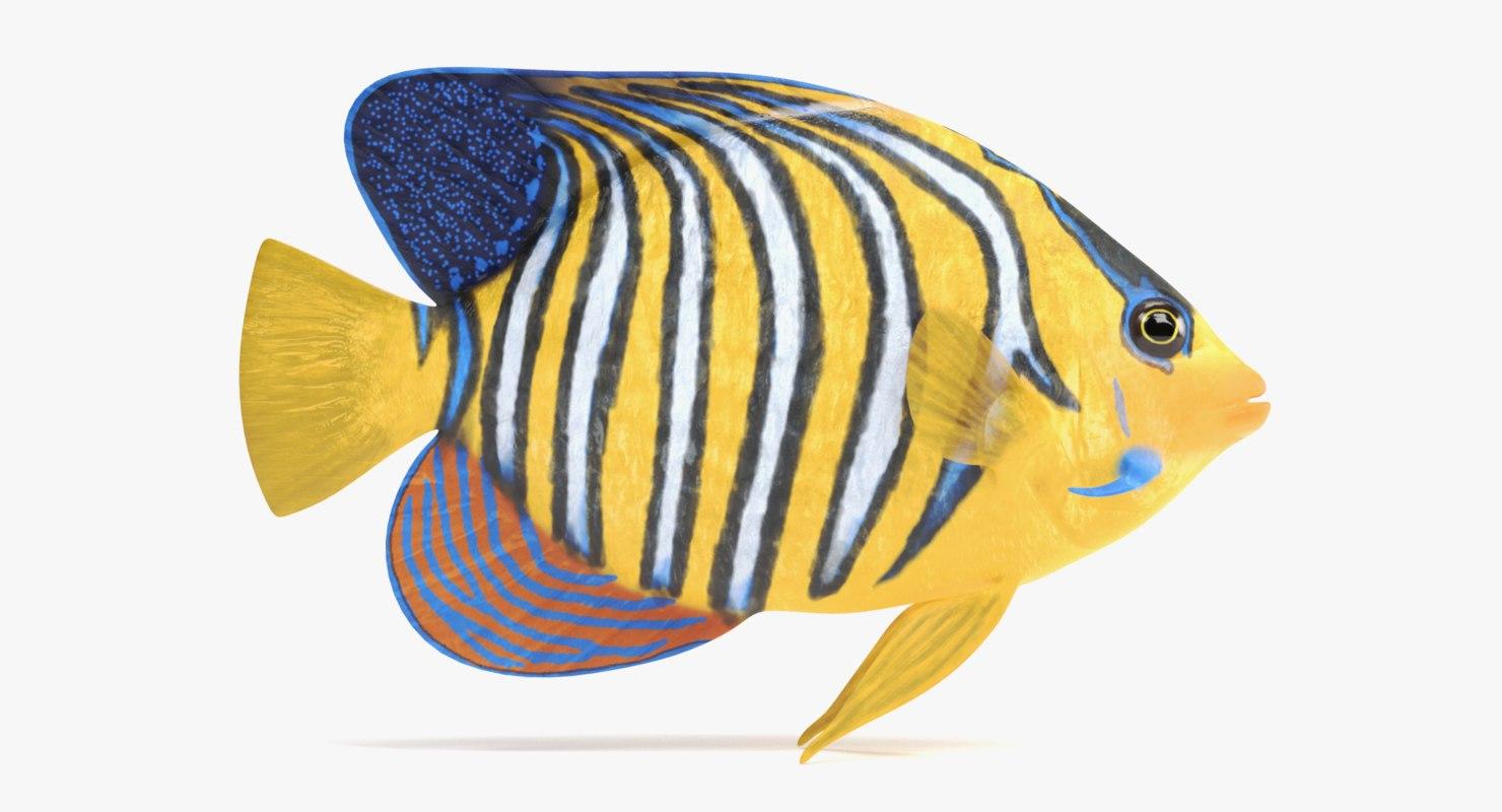 royal angelfish 3D