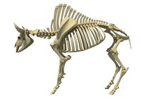 bison skeleton model