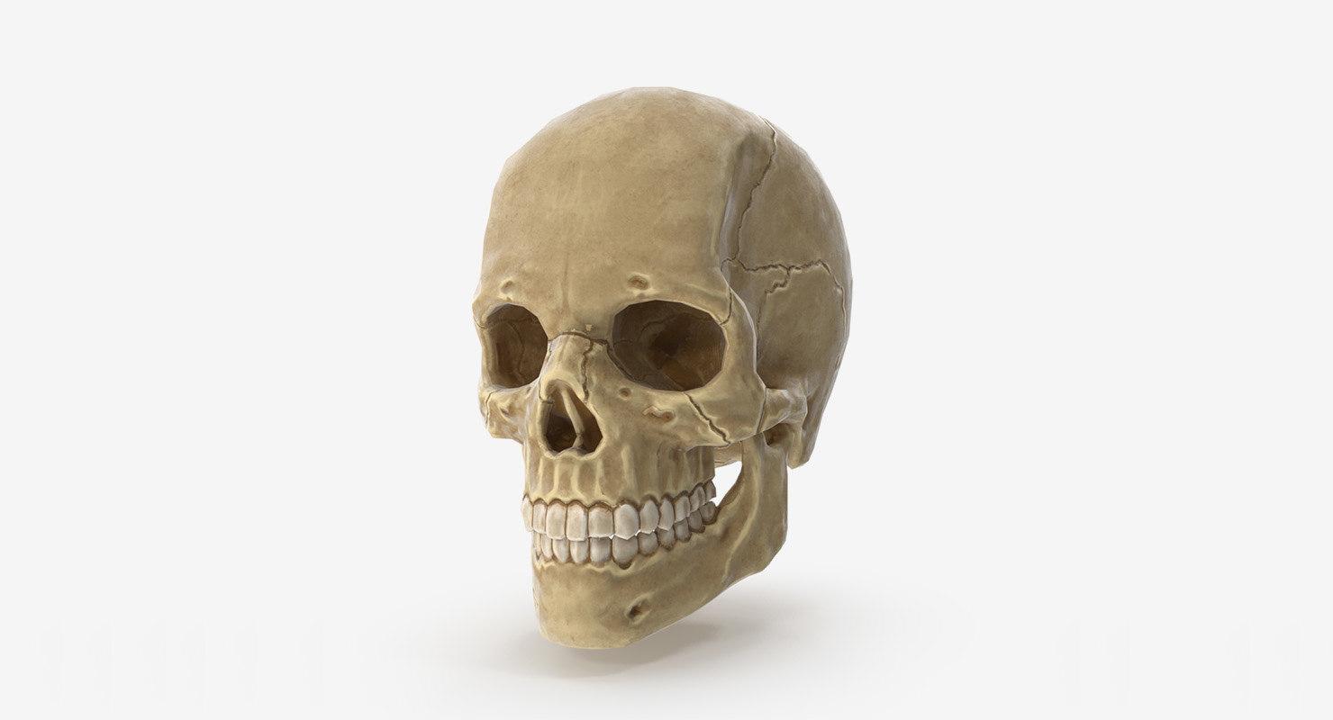 3D human skull ready