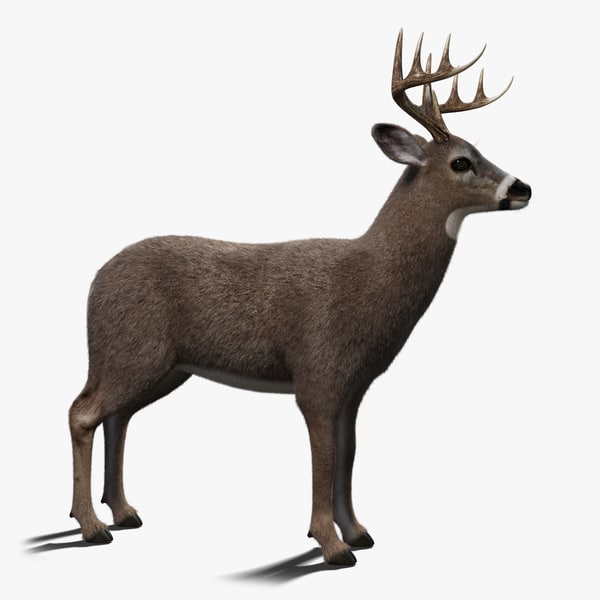 white tailed deer 2 3D model
