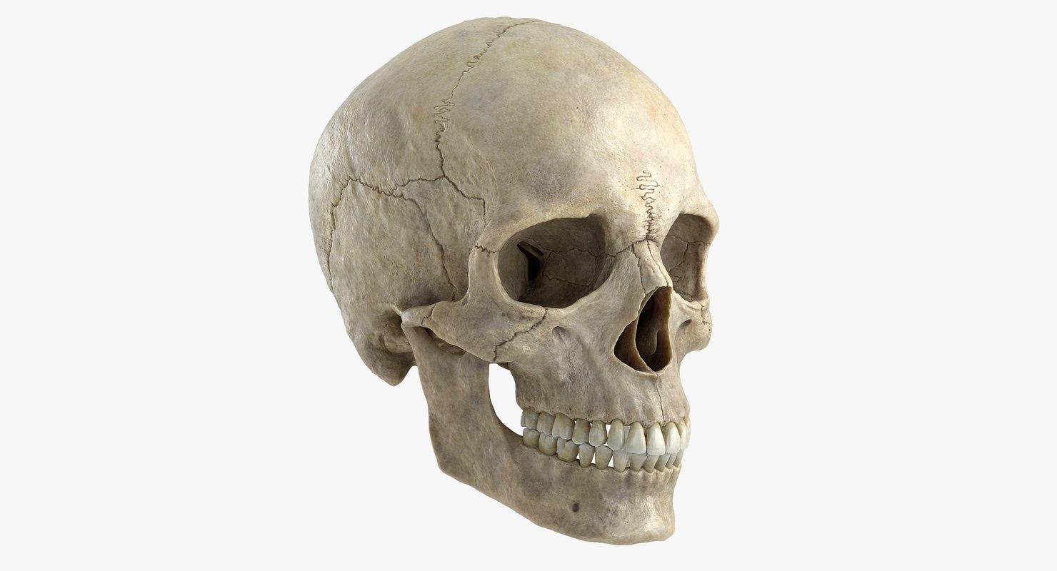 skull bone model