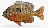 lepomis megalotis longear sunfish 3D model