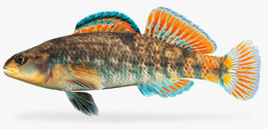 etheostoma caeruleum rainbow darter 3D