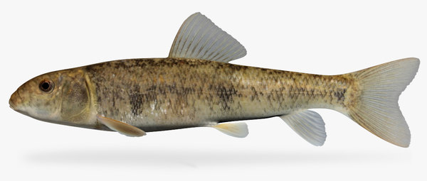 catostomus commersoni white sucker 3D model