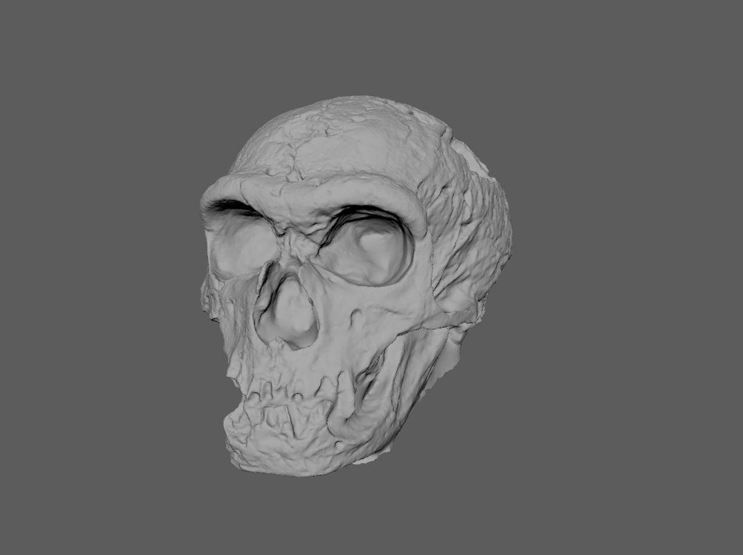 3D scan neanderthal skull model