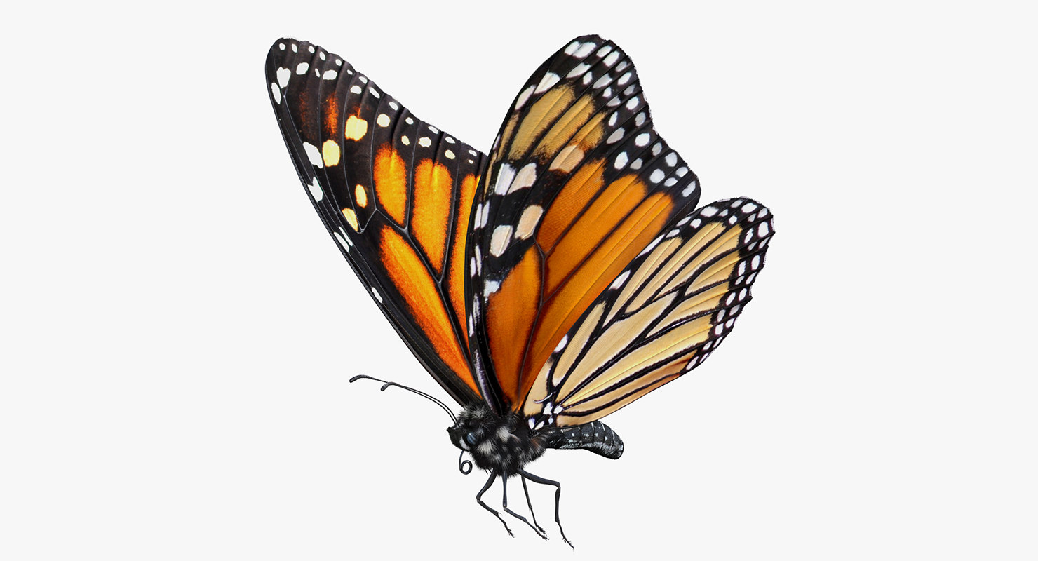 Monarch butterflies flying away - photo#51