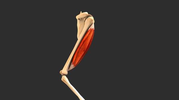 functional muscle fiber 3D