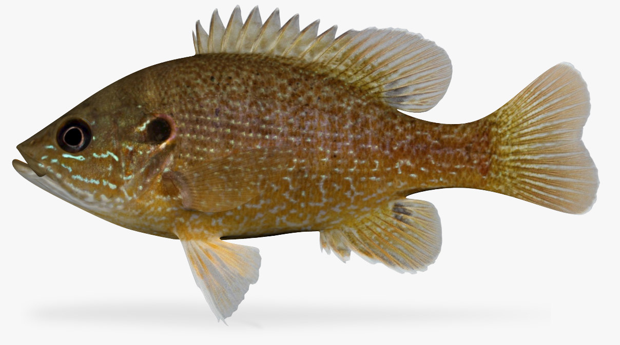 lepomis cyanellus green sunfish 3D model