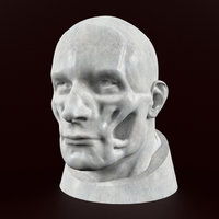 head anatomy muscular 3D