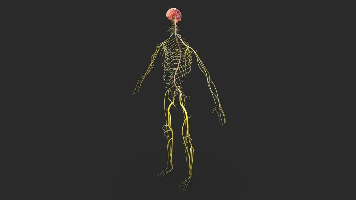 3D central nervous