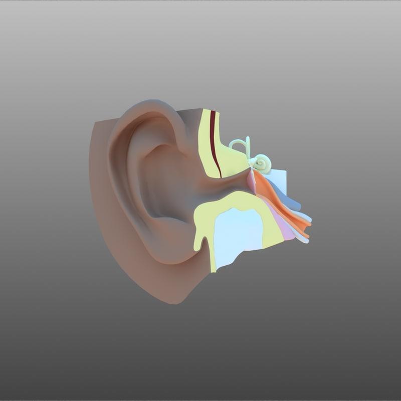 ear cross section 3D model