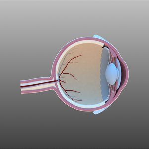 3D model eye cross section