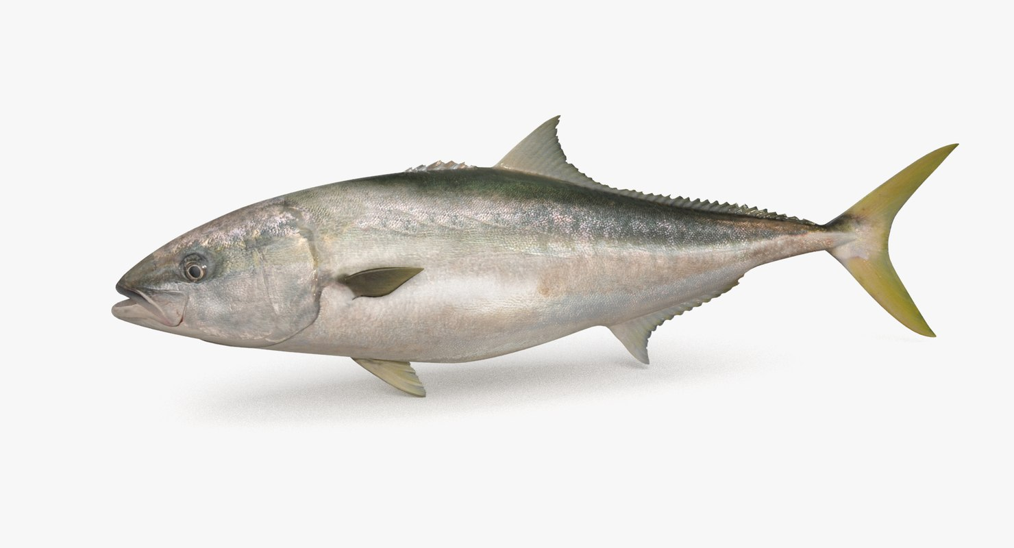 3D yellowtail pbr