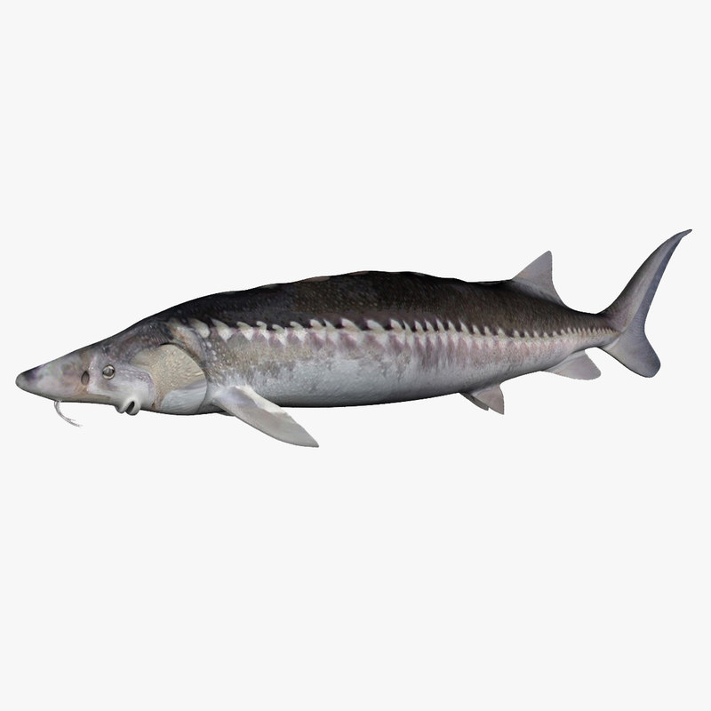 fish sturgeon 3D model