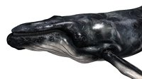3D realistic whale