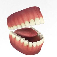 3D model teeth tooth dentition anatomy