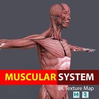 muscular male 3D