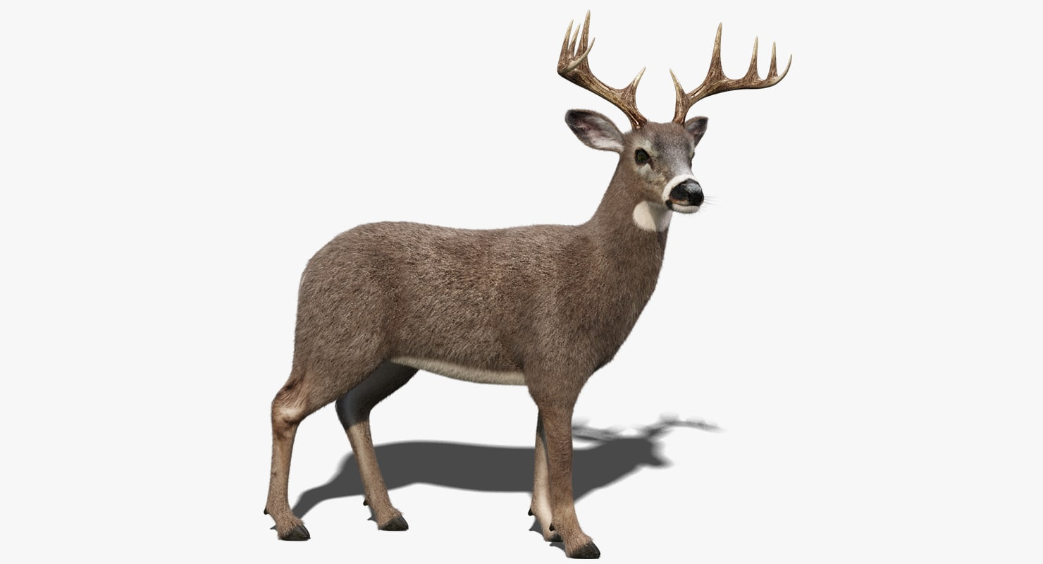 3D white tailed deer 2