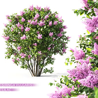 3D shrub lilac flowering model