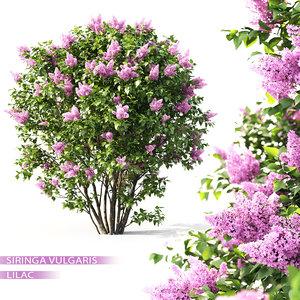 3D shrub lilac flowering model
