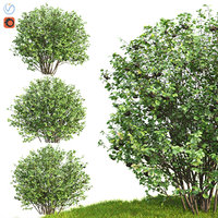 3D aronia bush hedge