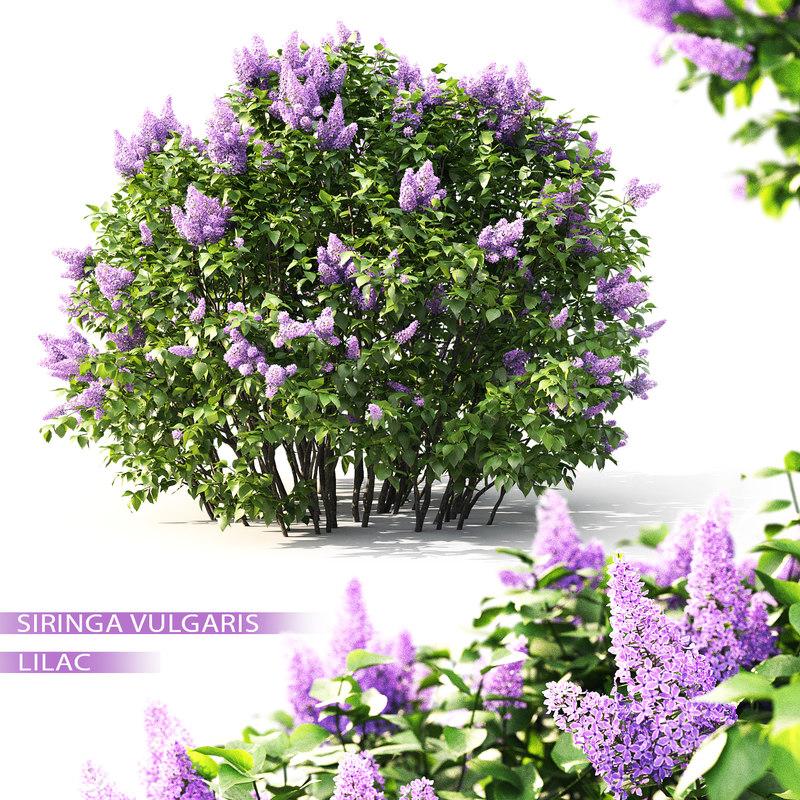 3D shrub lilac flowering 2