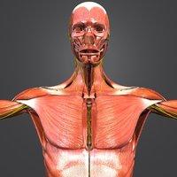 human body muscles 3D model