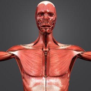 3D model human body muscles