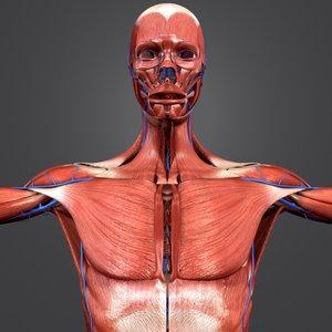 3D muscular muscles